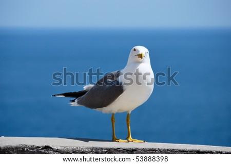 sea bird seagull. nature closeup - stock photo