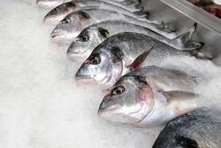 Sea bream fish on ice background. Fresh dorado fish
