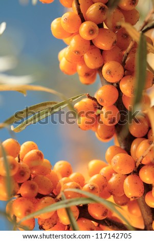 Sea buckthorn berries sprig against blue sky