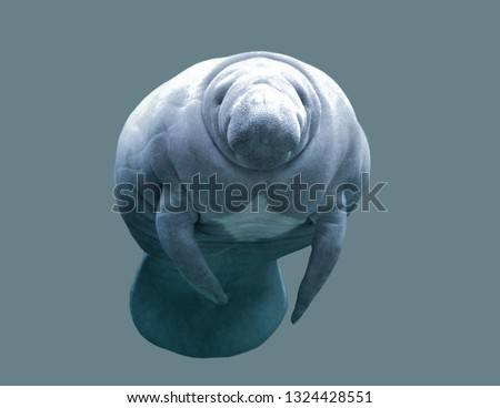 Sea cow manatee on an isolated background