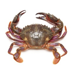 sea crab on white background