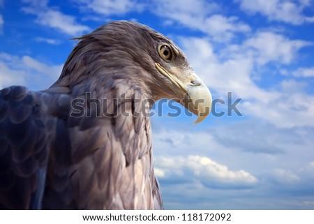 sea  eagle against blue sky