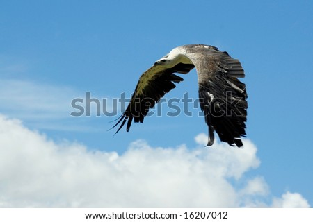 Sea eagle flying with wings pointing downwards.