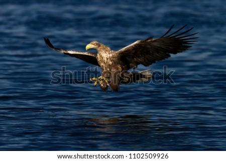 Stock Photo Sea eagle White-tailed eagle.