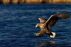 Sea eagle.White-tailed eagle.Seeadler.