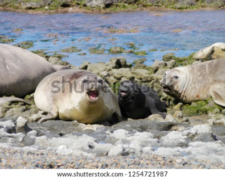 Sea elephants rest on the beach during the low tide, on the atlantic coast near Puerto Madryn. Big marine mammals of Patagonia. #1254721987