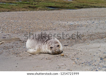 Sea elephants rest on the beach during the low tide, on the atlantic coast near Puerto Madryn. Big marine mammals of Patagonia. #1254721999
