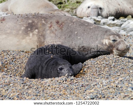 Sea elephants rest on the beach during the low tide, on the atlantic coast near Puerto Madryn. Big marine mammals of Patagonia. #1254722002
