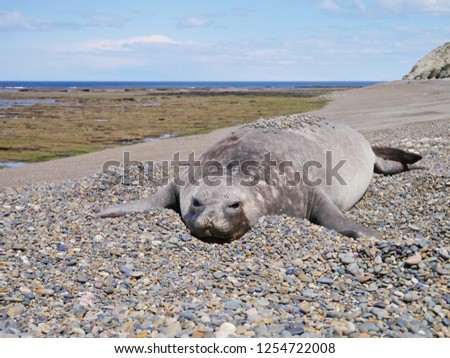 Sea elephants rest on the beach during the low tide, on the atlantic coast near Puerto Madryn. Big marine mammals of Patagonia. #1254722008