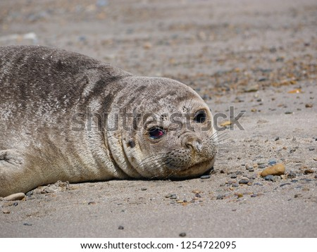 Sea elephants rest on the beach during the low tide, on the atlantic coast near Puerto Madryn. Big marine mammals of Patagonia. #1254722095