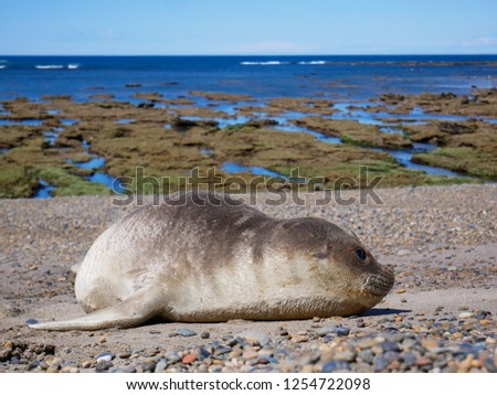 Sea elephants rest on the beach during the low tide, on the atlantic coast near Puerto Madryn. Big marine mammals of Patagonia. #1254722098