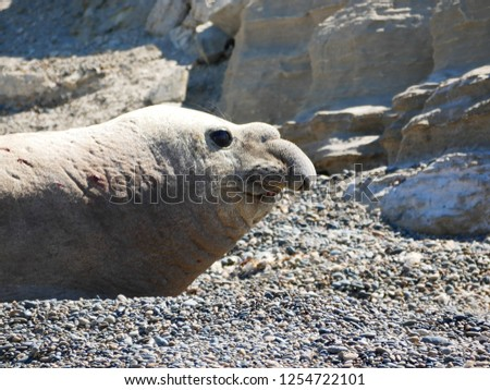 Sea elephants rest on the beach during the low tide, on the atlantic coast near Puerto Madryn. Big marine mammals of Patagonia. #1254722101