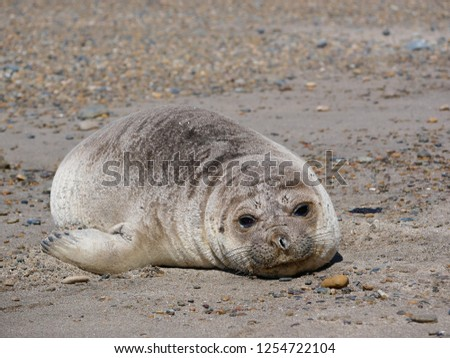 Sea elephants rest on the beach during the low tide, on the atlantic coast near Puerto Madryn. Big marine mammals of Patagonia. #1254722104