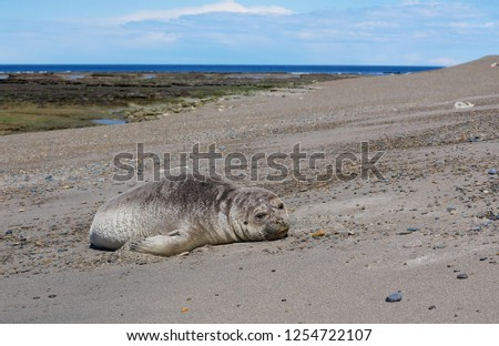 Sea elephants rest on the beach during the low tide, on the atlantic coast near Puerto Madryn. Big marine mammals of Patagonia. #1254722107
