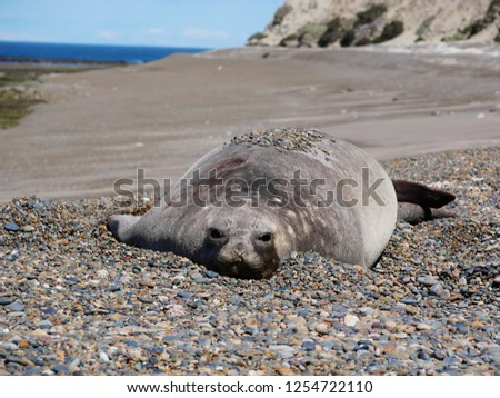 Sea elephants rest on the beach during the low tide, on the atlantic coast near Puerto Madryn. Big marine mammals of Patagonia. #1254722110