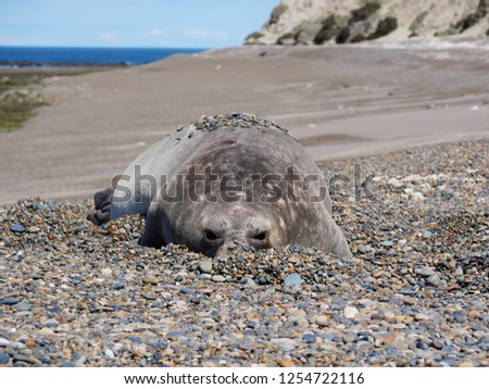 Sea elephants rest on the beach during the low tide, on the atlantic coast near Puerto Madryn. Big marine mammals of Patagonia. #1254722116
