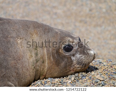 Sea elephants rest on the beach during the low tide, on the atlantic coast near Puerto Madryn. Big marine mammals of Patagonia. #1254722122