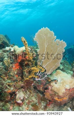 Sea Fan on a coral ledge