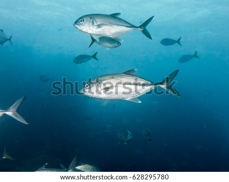 sea fish Big fish Fish herd nature Lowly trevally Underwater photo Coral reef