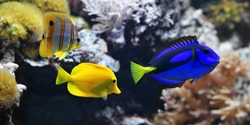 Sea fish, Blue tang (Paracanthurus hepatus), Copperband Butterflyfish (Chelmon rostratus) and Yellow tang (Zebrasoma flavescens). These are the most popular aquarium fish of the sea