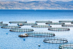 Sea fish farm. Cages for fish farming dorado and seabass. The workers feed the fish a forage.