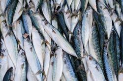 Sea fish mackerel pile in tank in market