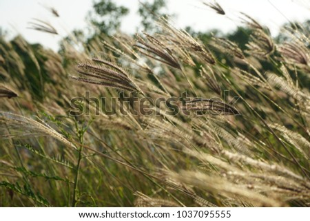 Sea Grass blown by wind. Dramatic Spring season scene over bright blue sky. The spikelets are leaning in the wind. under exposure concept