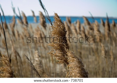 Sea grasses in a marshland next to the beach.