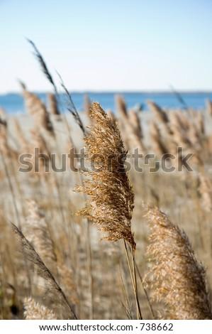 Seegräser im Herbst an einem vollen Tag. Flacher Fokus auf mittleremBetrieb.