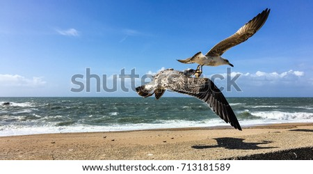 Sea gull carrying a starfish in the beak beside Atlantic Ocean. Two gulls compete and fight for a starfish while low flying in formation over Carneiro beach in Porto, Portugal, in a sunny day. #713181589