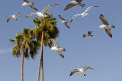 Sea gull flying through the air past natural California palm trees