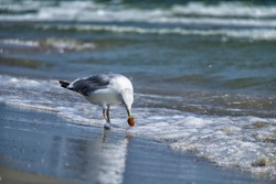 Sea gull found a treat on the seashore (Larus marinus)