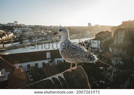 Sea gull in a roof top during golden hour with Ribeira do Porto and Vila Nova de Gaia in its background. Foto stock ©