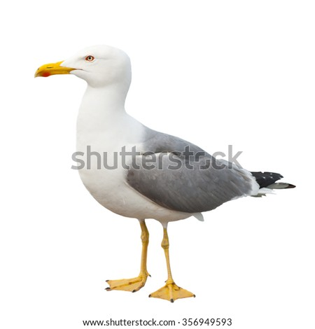 Sea gull, isolated on white background - Shutterstock ID 356949593