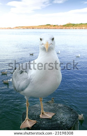Sea gull looking straight