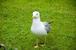 Sea gull on the grass. Seagull walks on green grass. gull walk in italy park. beautiful and funny seagull on green grass. The common gull.