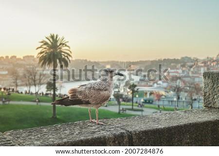Sea Gull resting with Vila Nova de Gaia, Ribeira do Porto and Douro River in its background. Foto stock ©