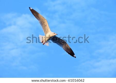 Sea gull soaring in the blue sky