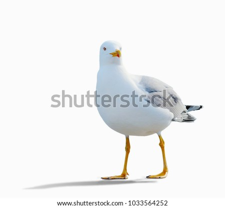 sea gull standing on his feet. seagull . Isolated over white.  the gull is walking slowly - Shutterstock ID 1033564252