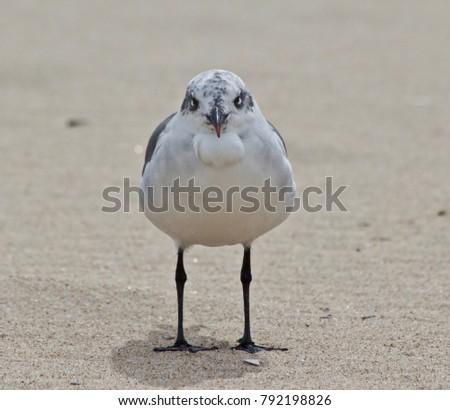 Sea Gull Staring #792198826