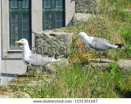 sea gull, twin sea gull, sea gull with grass, sea gull in the town, birds #1191301687