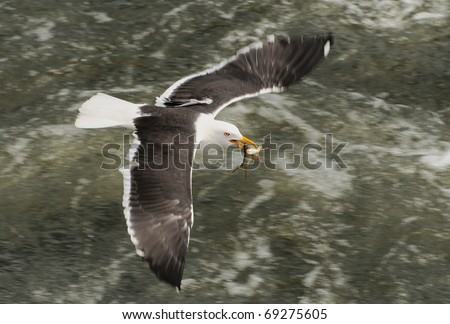 Sea gull with captured fish