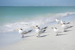 Sea gulls waiting in the afternoon sun for clams on Sand Key beach Florida.