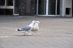 Sea gulls walk on the street in Riga. Standing sea gull close-up.