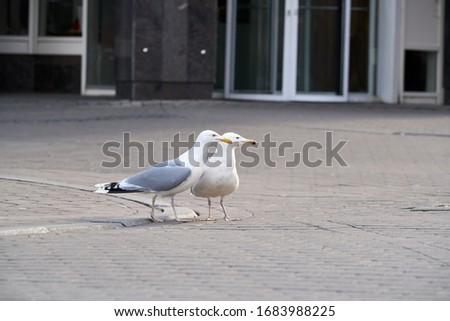 Sea gulls walk on the street in Riga. Standing sea gull close-up. Stock photo ©