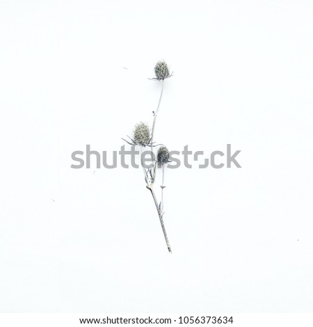 Sea holly. Minimalist and minimalistic. White and clean. Tiny and fragile. Less is more. Beauty in details.  Eryngium maritimum. #1056373634