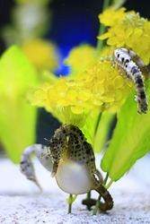 Sea horse also known as hippocampus. It was taken at hakkejima's aquarium which in Japan.