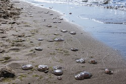Sea jellies on a beach in nature reserve for birds called Mewia Lacha on Sobieszewo Island, Gdansk Bay in the Baltic Sea, Poland