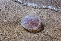 Sea jelly on in nature reserve for birds called Mewia Lacha on Sobieszewo Island, Gdansk Bay in the Baltic Sea, Poland