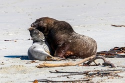 Sea lion at Sandfly bay in New Zealand